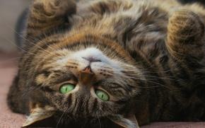 Картинка кошка, взгляд, зелёные глаза