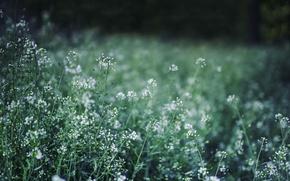 Картинка зелень, трава, макро, цветы, пастушья сумка