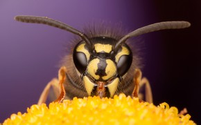 Обои цветок, глаза, макро, пчела, фон, мордочка, насекомое, усики