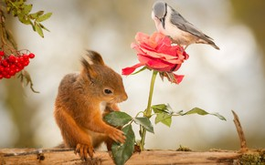 Картинка животные, цветок, природа, ягоды, птица, роза, белка, журнал, рябина, грызунов