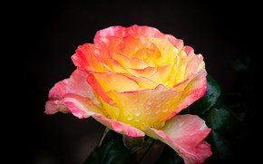 Обои роза, цветок, капли