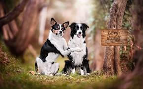 Обои портрет, парочка, две собаки