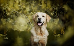 Картинка взгляд, ветки, собака, боке, Лабрадор-ретривер