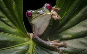 Картинка лист, лягушка, зеленая