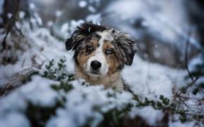 Обои зима, взгляд, снег, собака, щенок, мордашка, пёсик, Австралийская овчарка, Аусси