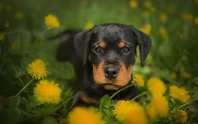 Картинка собака, щенок, одуванчики, ротвейлер, Frelka