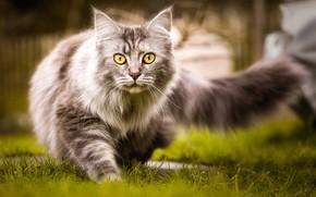 Обои кот, трава, хвост, пушистый, прогулка, природа, серый, кошка, желтоглазый