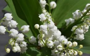 Картинка цветы, природа, весна, ландыш