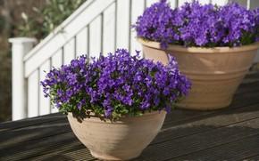 Картинка колокольчики, фиолетовый, горшки, цветы