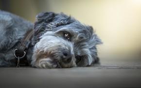 Картинка взгляд, собака, лежит