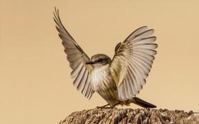 Картинка птица, крылья, самка, красный тиранн