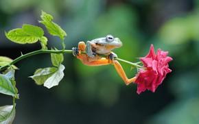 Обои лягушка, роза, цветок, стебель
