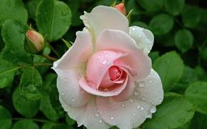 Обои роза, бутон розы, капли, роса