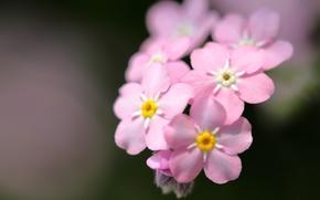 Картинка макро, фон, розовые, незабудки
