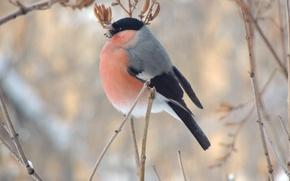 Картинка зима, макро, птица, еда, ветка, снегирь