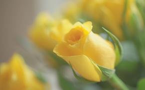 Картинка макро, роза, бутон, боке, жёлтая роза