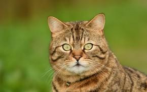 Обои кот, котейка, фон, мордочка, взгляд, портрет, кошка