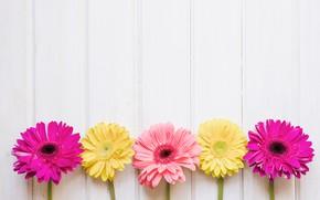 Картинка цветы, желтые, розовые, хризантемы, yellow, pink, flowers, spring