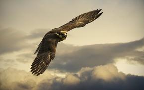 Картинка Eagle, Flight, Clouds, Sky, Wings, Wingspan