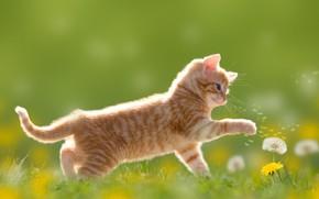 Обои луг, одуванчики, котенок