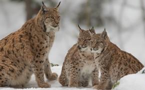 Обои снег, котята, дикие кошки, рысь, рыси, детёныши, рысята