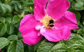 Картинка лето, макро, пыльца, шмель, Шиповник