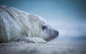 Картинка взгляд, тюлень, детёныш