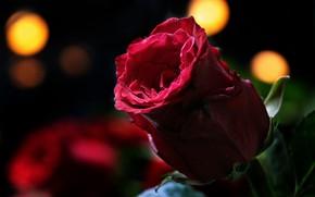 Картинка цветок, красный, фон, Роза, бутон