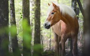 Картинка лес, лето, глаза, взгляд, морда, листья, деревья, природа, конь, стволы, лошадь, кони, лошади, рыжий, красавец, …