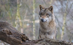 Картинка взгляд, волк, хищник, коряга, боке