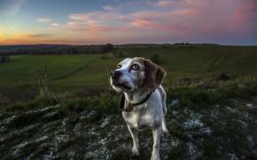 Обои поле, взгляд, собака