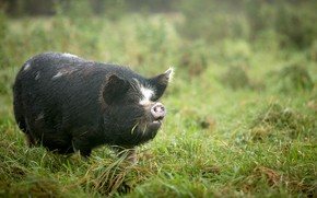 Картинка природа, туман, свинья