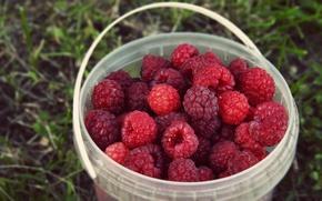 Обои лето, трава, природа, ягоды, малина, фон, еда, урожай, ведро, много, вкусно, ведерко, ведёрко, пластиковое ведёрко, ...
