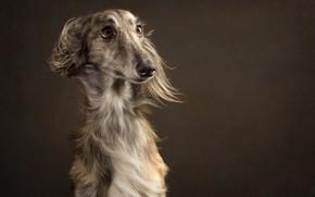 Обои фон, собака, глаза, взгляд, портрет