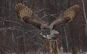 Обои природа, крылья, сова, взгляд