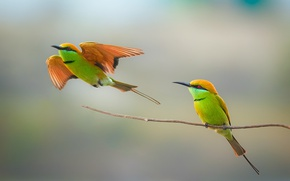 Обои birds, bee-eater, couple, wildlife