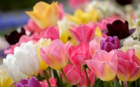Картинка тюльпаны, бутоны, разноцветный