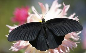 Обои лето, фон, бабочка, черная