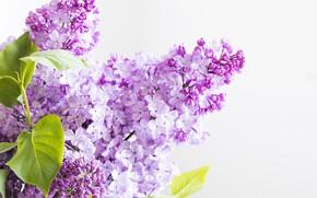 Картинка цветы, цветение, сирень
