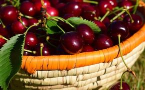 Картинка листья, природа, вишня, сияние, ягоды, настроение, корзина, блеск, еда, позитив, урожай, корзинка, много, черешня, спелая, …