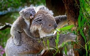 Обои листья, ветки, деревья, коала, природа, детёныш, животные
