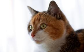 Обои кошка, глаза, усы