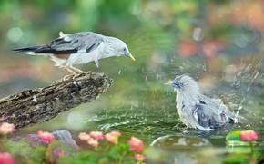 Картинка вода, брызги, птицы, природа, купание, боке