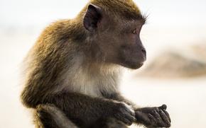 Картинка monkey, animal, portrait, mammal, malaysia, kuantan