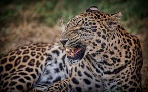 Картинка дикая кошка, оскал, клыки, злость, рык, угроза, морда, пасть, хищник, леопард