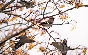 Картинка птицы, ветки, природа, ягоды