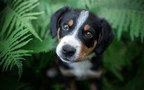 Картинка лето, глаза, взгляд, черный, портрет, собака, мордочка, щенок, папоротник
