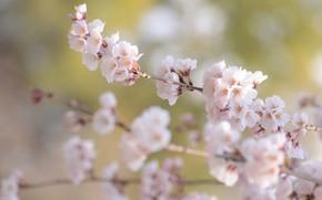Картинка ветки, весна, сакура