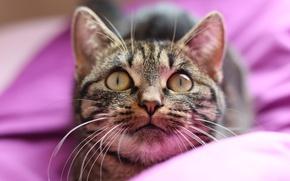 Картинка кошка, взгляд, мордочка