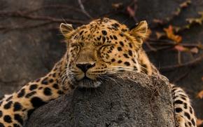Картинка морда, отдых, сон, хищник, лежит, дикая кошка, амурский леопард